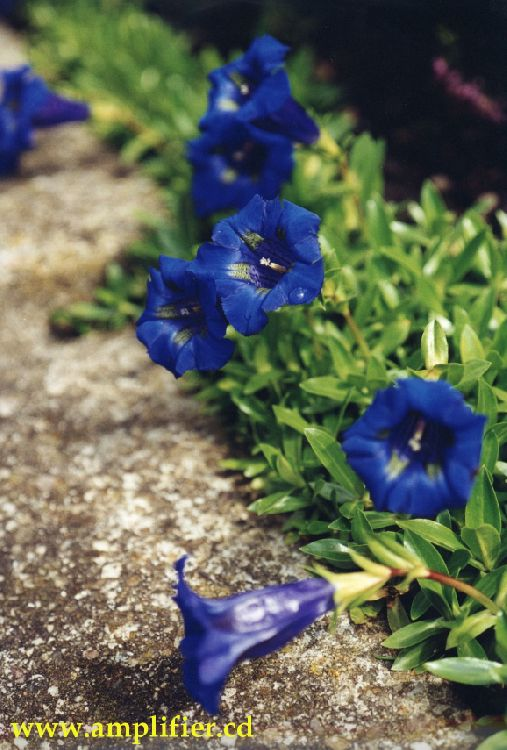 Garten Blumen Blau ~ Kreative Bilder Für Zu Hause Design-Inspiration