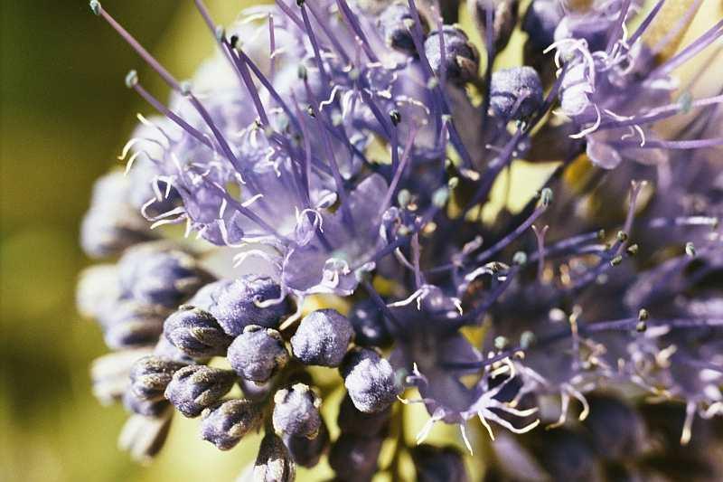 fotos blaue blumen und pflanzen photos blue flowers. Black Bedroom Furniture Sets. Home Design Ideas