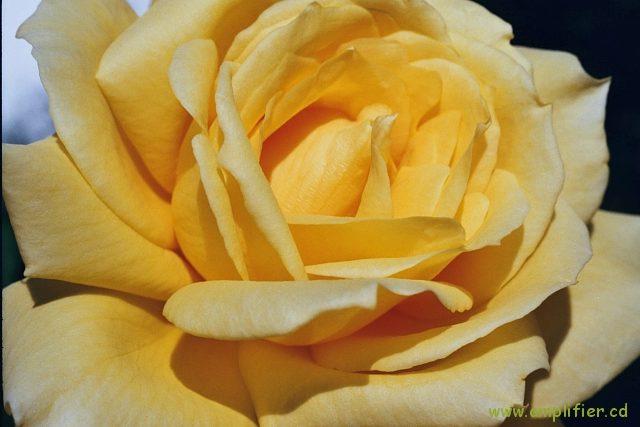 Die rose blüht schon recht lange