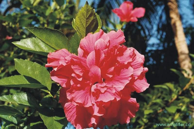 fotos rosa blumen und pflanzen photos from pink flowers. Black Bedroom Furniture Sets. Home Design Ideas