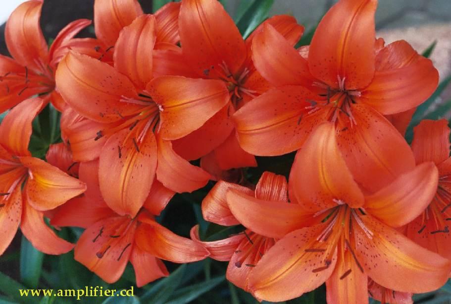 Fotos orange und rote blumen rote und orange blumen und pflanzen thecheapjerseys Images